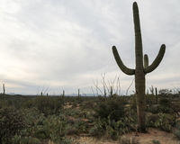 Arizona's Saguaro National Park East Royalty Free Stock Image