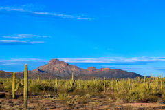 Arizona's Sonoran Sunset Panorama. Dramatic view of Arizona's Sonoran desert at sunset, Filled with giant saguaro cactus, along with Cholla, Palo Verde Octotillo royalty free stock image