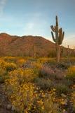 Arizona Saguaro Royaltyfri Fotografi