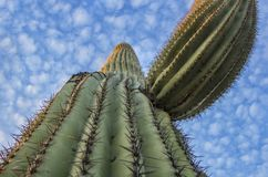 Soaring Arizona Saguaro Cactus Close up. Arizona Saguaro Cactus Close up with deep blue skies and high clouds royalty free stock photos
