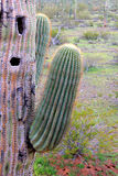 Arizona Saguaro close up. Arm of Gigantic Candle Saguaro and woodpecker holes in main stem Royalty Free Stock Photography