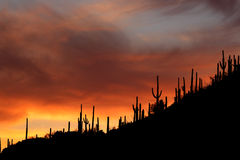 Arizona Saguaro Sunset Silhouettes Royalty Free Stock Images