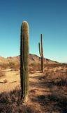 arizona saguaros Zdjęcia Stock