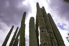 Arizona Saguaros Royalty Free Stock Photos