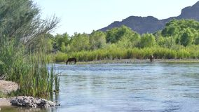 Arizona, Salt River, eine breite Ansicht von zwei wilden Pferden, die im Salt River trinken stock video footage