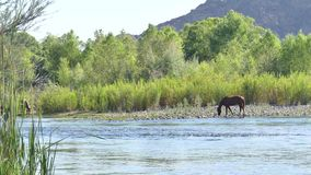 Arizona, Salt River, tre vildhästar och en hingstföl som dricker i Saltet River stock video