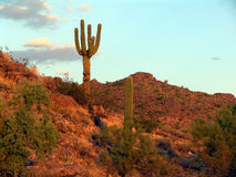 Arizona Scenery. Sahuaro on mountain top in Florence, Arizona at sunset Stock Images