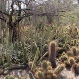 Cactus maze Stock Photos