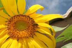 arizona solros royaltyfri fotografi