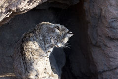 Arizona Sonora Desert Museum Bobcat. Bobcat sits in a relaxed, feline position in the natural setting of Cat Canyon at the Arizona Sonora Desert Museum, a key Stock Photos