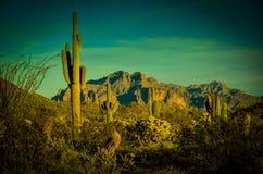 Arizona Sonoran öken Arkivbilder