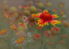 Arizona Sun Blanket Flower happy background stock photo