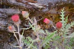 Arizona thistle plant, Michoacan, Mexico Stock Photography