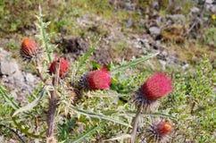 Arizona thistle plant, Michoacan, Mexico Royalty Free Stock Image