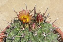 Arizona trummakaktus i blom royaltyfria foton