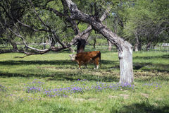 Arizona, Tucson, USA, April 8, 2015, cow in spring field with purple flowers Stock Image