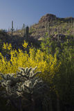 Arizona, Tucson, USA, April 9 2015, Saguaro National Park West, Saguaro Cactus at sunset Stock Photos