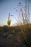 Arizona, Tucson, USA, April 9 2015, Saguaro National Park West, Saguaro Cactus at sunset Royalty Free Stock Images