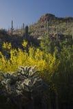 Arizona, Tucson, USA, April 9 2015, Saguaro National Park West, Saguaro Cactus at sunset Royalty Free Stock Photography