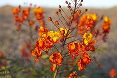 Arizona vildblomma Royaltyfri Foto