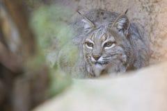 Arizona-Wüste Bob Cat Hiding Behind Rock Stockbilder