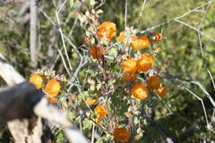 Arizona-Wüsten-Blume lizenzfreie stockfotografie
