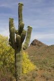 Arizona-Wüstesaguaro-Kaktus stockfotos