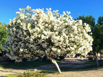 Arizona White Oleander Royalty Free Stock Photos