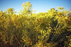 Arizona Wildflowers Royalty Free Stock Photos