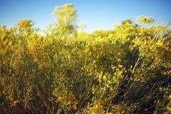 Arizona Wildflowers Royalty Free Stock Photos