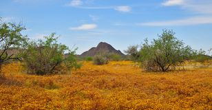 Arizona, wiosna Kwitnie północ Phoenix: Dywan kuli ziemskiej Chamomile zdjęcia stock