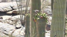 Arizona, woestijn die, twee duiven nectar van bloemen bovenop saguarocactus drinken