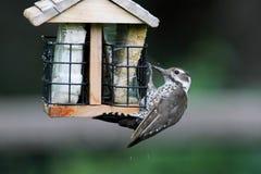 Arizona Woodpecker (Picoides arizonae) Stock Photography
