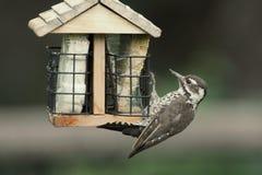 Arizona Woodpecker (Picoides arizonae) on a feeder Royalty Free Stock Photo