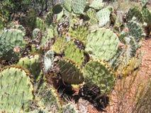 ArizonaCactus roślina w Sedona zdjęcie royalty free