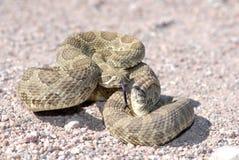 Arizonamojave-Klapperschlange lizenzfreie stockfotos