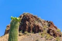 ArizonanSaguarokaktus i blom Arkivfoton
