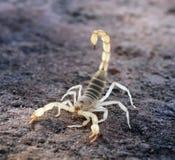 Arizonensis de Hadrurus, el escorpión melenudo del desierto gigante, hai gigante Imagen de archivo libre de regalías
