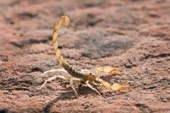 Arizonensis de Hadrurus, o escorpião peludo do deserto gigante, escorpião peludo gigante, ou escorpião peludo do deserto do Arizo fotografia de stock