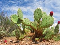 Arizonian stachelige Birnen-Kaktus Lizenzfreie Stockfotografie