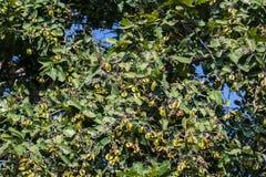 Arjun Terminalia arjuna Tree and Fruits. Arjun Terminalia arjuna green Leaves , Fruits and Seeds on Tree in Forest of India royalty free stock photos