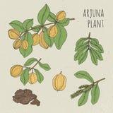 Arjuna, медицинское ботаническое ayurvedic дерево Завод, плодоовощ, цветки, расшива, комплект листьев нарисованный рукой Винтажно Стоковые Изображения