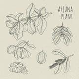 Arjuna, medical botanical ayurvedic tree. Plant, fruit, flowers, bark, leaves hand drawn set. Vintage contour isolated Stock Photo
