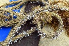 Arkana przerastająca z seashells na plaży Fotografia Stock