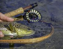Arkansas Brown Trout stock images