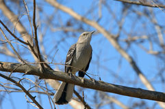 Arkansas Mocking Bird Royalty Free Stock Photography