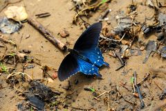 Arkansas State Butterfly stock images