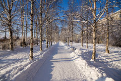 Arkhangelsk, Russia. Snow-covered birch alley Royalty Free Stock Images