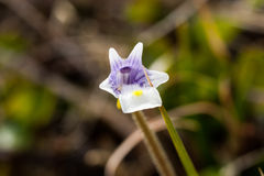 Arktische Blume Lizenzfreie Stockfotos