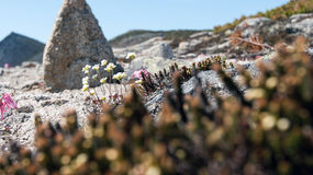Arktische Blumen Stockfotografie